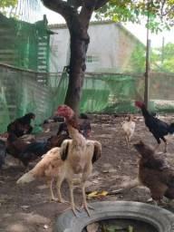 Vendo galinha de raça