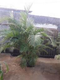 Palmeira areca com 2 metros de planta