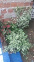 Plantas para vendê