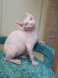 Elf o gato sem pelo das orelhas dobradas