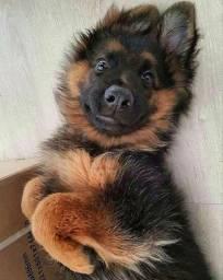 Cães filhotes de pastor alemão