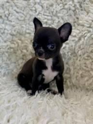 Chihuahua fêmea bicolor de padrão e linhagem perfeitos