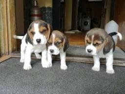 Beagle com suporte veterinário gratuito! *