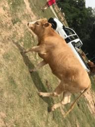 Vendo gado !!