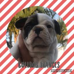 Bulldog Francês com pedigree e microchip em até 18x