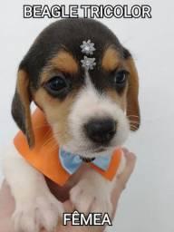 Beagle tricolor, venha conferir na Mk Dr PET