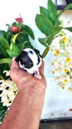 Pinscher macho miniatura