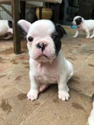 Da Madre vende filhotes de Bulldog francês