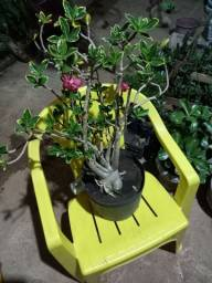 Vendo rosa do deserto arábico variegata