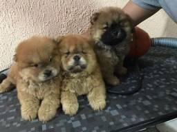 Filhotinhos da Raça Chow Chow