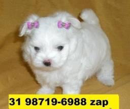 Canil Lindos Filhotes Cães Pet BH Maltês Basset Poodle Lhasa Shihtzu Yorkshire Pug Beagle