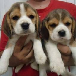 Beagle fêmea e macho ja vacinados e comendo ração seca