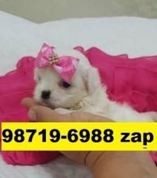 Canil Filhotes Cães Premium BH Maltês Poodle Yorkshire Lhasa Shihtzu Beagle Bulldog