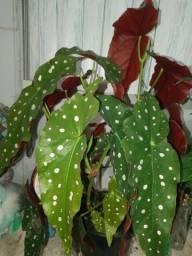 3 mudas no jarro 15 Begonia maculata