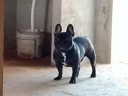 Bulldog Francês Quer Namorada