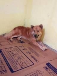 Cachorro raça Akita com Chow Chow