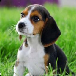Filhotes de Beagle femea e macho