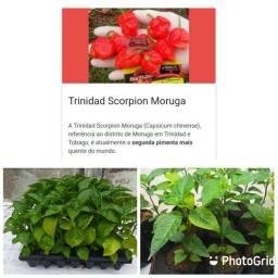 Mudas de pimenta Trinidad Scorpions moruga