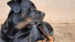 Filhotes de Rottweiler - excelente genética física e comportamento.