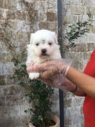 Maltês, temos 12 clinicas veterinárias para te dar suporte gratuito!