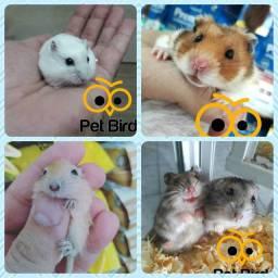 Hamster sírio anão e esquilo