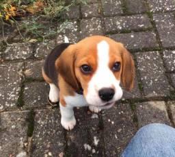 Beagle tricolor e bicolor vacinados