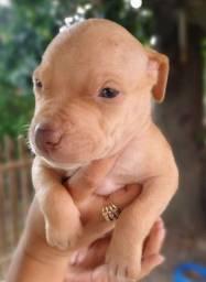 Filhote de Pitbull fêmea