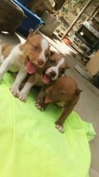 Três filhotes de pitbull para venda