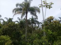 Vendo coqueiro