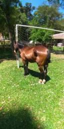 Cavalo saino