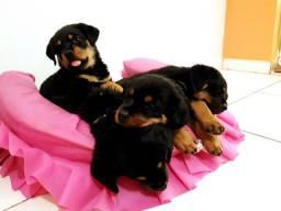 Rottweiler raça pura  de pais com pedigree disponivel para venda em porto velho