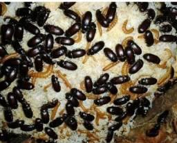 Título do anúncio: Besouro do amendoim
