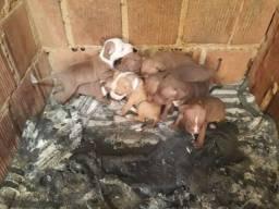 Filhotes disponíveis de American staffordshire bull terrier