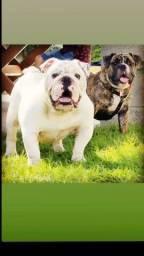 Bulldog Inglês ( COBERTURA)