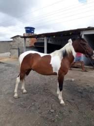 Cavalo pampo de castanho por apenas 4.000