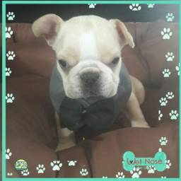 Bulldog Frances Ultimo Macho Nesta Semana na Wet Nose