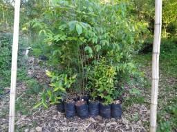 Mudas de Árvores Nativas