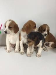 Filhotes de Beagle + JackRussel