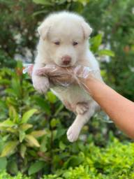 Husky Siberiano c/ pedigree