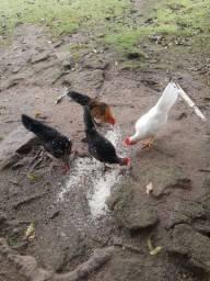 Vendo 2 garnizés galos (frangos)