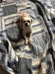Vendo cachorro raça shih tzu 1,9 meses