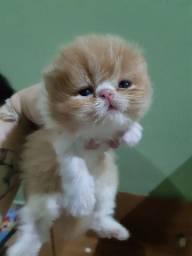 Gatinhos persas padrão show