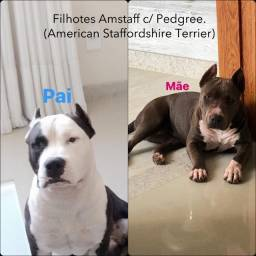 Filhote American Starffordshire Terrier -amstaff- com pegree