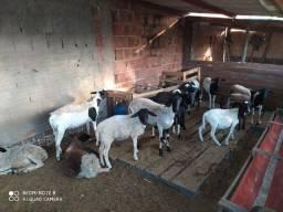 14 carneiros gordos