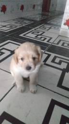 Vendo filhote de Poodle ( Macho)