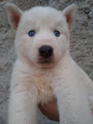 Filhotes de Husky Siberianos lindos e puros