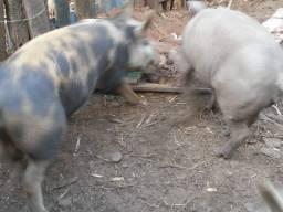 Marroa porco
