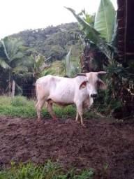 Vaca vazia