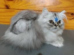 Lindos Gatos Persas e Exotico com Pedigree