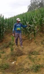 Plantação milho seco